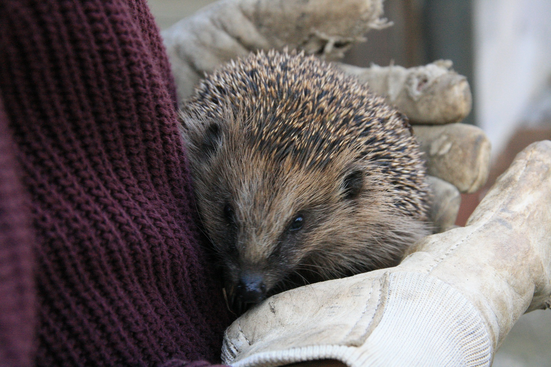 hedgehog-252691_1920